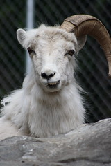 sheep(0.0), animal(1.0), sheeps(1.0), argali(1.0), mammal(1.0), horn(1.0), barbary sheep(1.0), goats(1.0), domestic goat(1.0), fauna(1.0), mountain goat(1.0), close-up(1.0), wildlife(1.0),