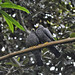 Small photo of African Olive Pigeon (Columba arquatrix)