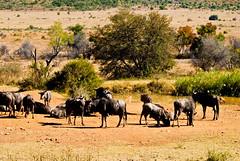 adventure(0.0), mustang horse(0.0), cattle(0.0), cattle-like mammal(1.0), steppe(1.0), ranch(1.0), wildebeest(1.0), plain(1.0), mammal(1.0), herd(1.0), grazing(1.0), fauna(1.0), natural environment(1.0), landscape(1.0), wilderness(1.0), pasture(1.0), rural area(1.0), savanna(1.0), grassland(1.0), safari(1.0), wildlife(1.0),