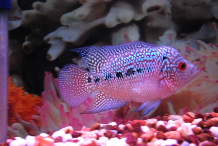 Flowerhorn Fish | Flickr - Photo Sharing!