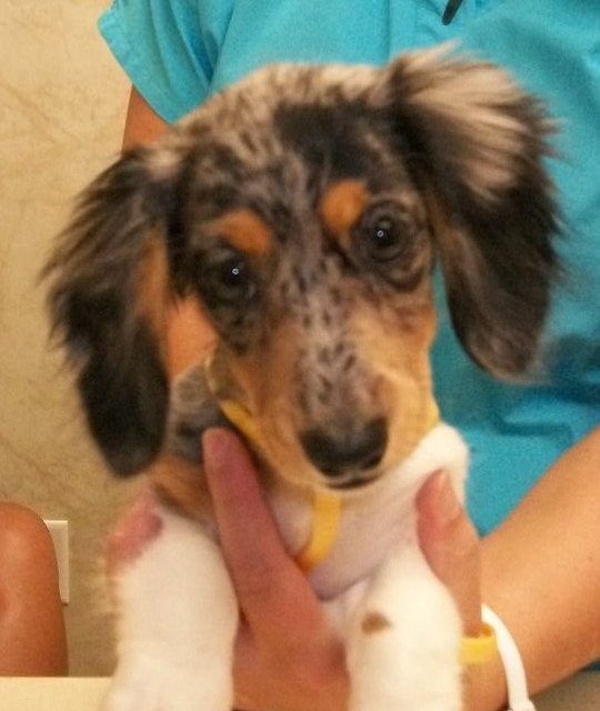 Baby Dachshund With Fluffy Ears Flickr Photo Sharing