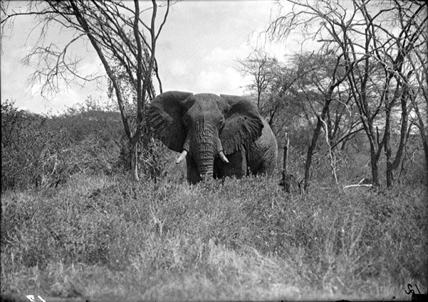 Elephant, by Martin Johnson ca. 1925