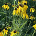 Yellow coneflower - Photo (c) Elizabeth Sellers, some rights reserved (CC BY-NC-SA)
