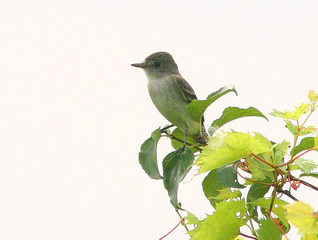 Willow Flycatcher 20100706