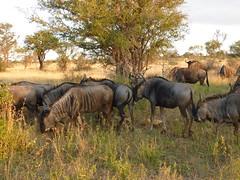 cattle-like mammal(0.0), adventure(0.0), water buffalo(0.0), rhinoceros(0.0), kudu(0.0), animal(1.0), prairie(1.0), wildebeest(1.0), plain(1.0), mammal(1.0), horn(1.0), herd(1.0), grazing(1.0), fauna(1.0), meadow(1.0), pasture(1.0), savanna(1.0), grassland(1.0), safari(1.0), wildlife(1.0),