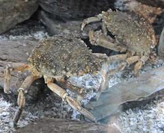 dungeness crab(0.0), homarus(0.0), american lobster(0.0), crab(1.0), animal(1.0), shellfish(1.0), ocypodidae(1.0), crustacean(1.0), seafood(1.0), marine biology(1.0), invertebrate(1.0), fauna(1.0), food(1.0),