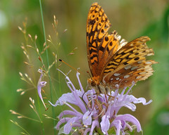 Fritillary DSC_5918 by Mully410 * Images