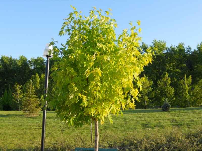 Acer pseudoplatanus 'Brillantissimum' árbol 2