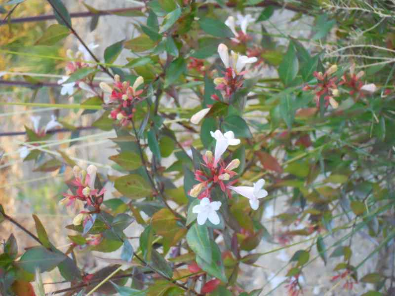 Abelia x grandiflora 'Francis Mason' 3