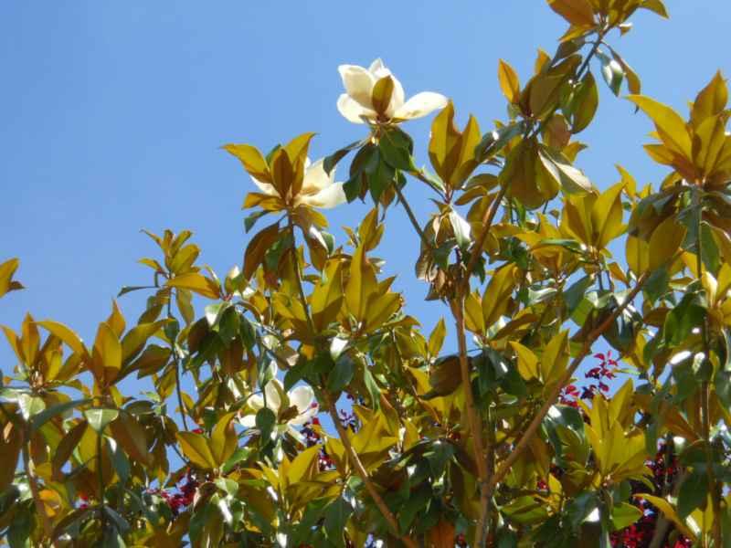 Magnolia spp.flor 1