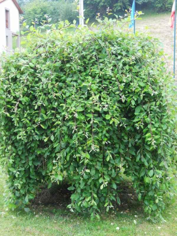 Salix caprea 'Pendula' v 4