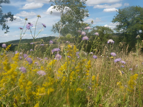 Scabious & Lady's Bedstraw