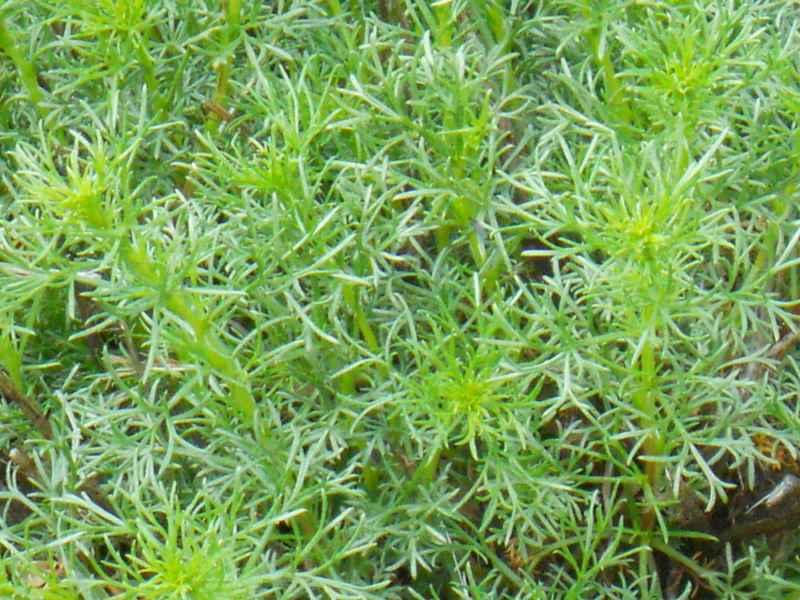 Artemisia arborescens.. hojas 2
