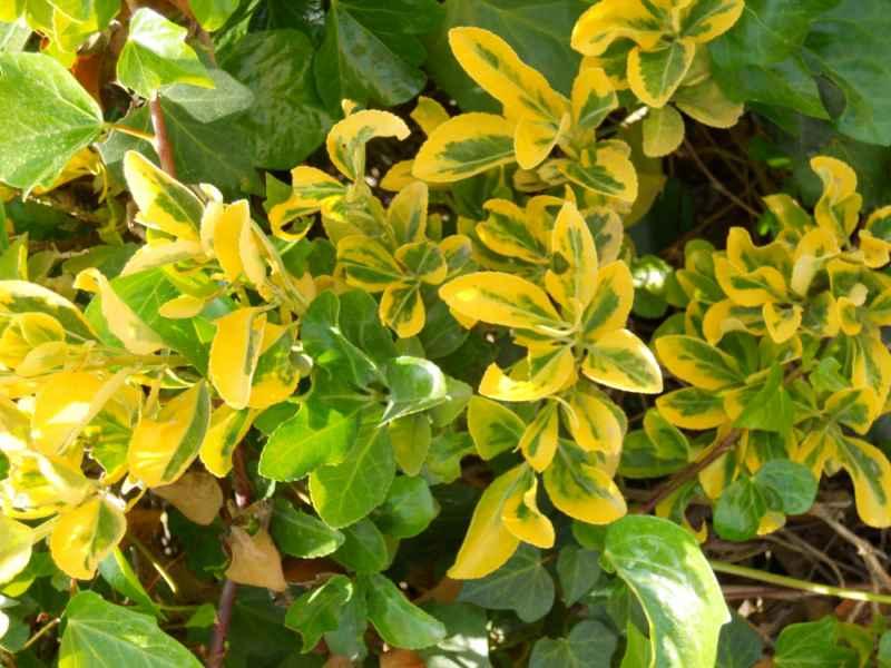 Euonymus japonicus 'Aurea' 3