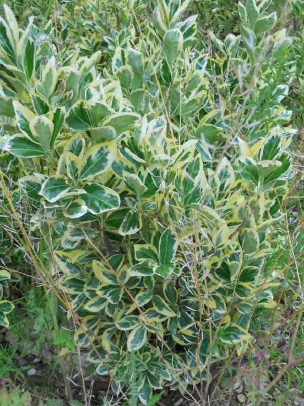 Euonymus japonicus 'Aureomarginatus' v 1