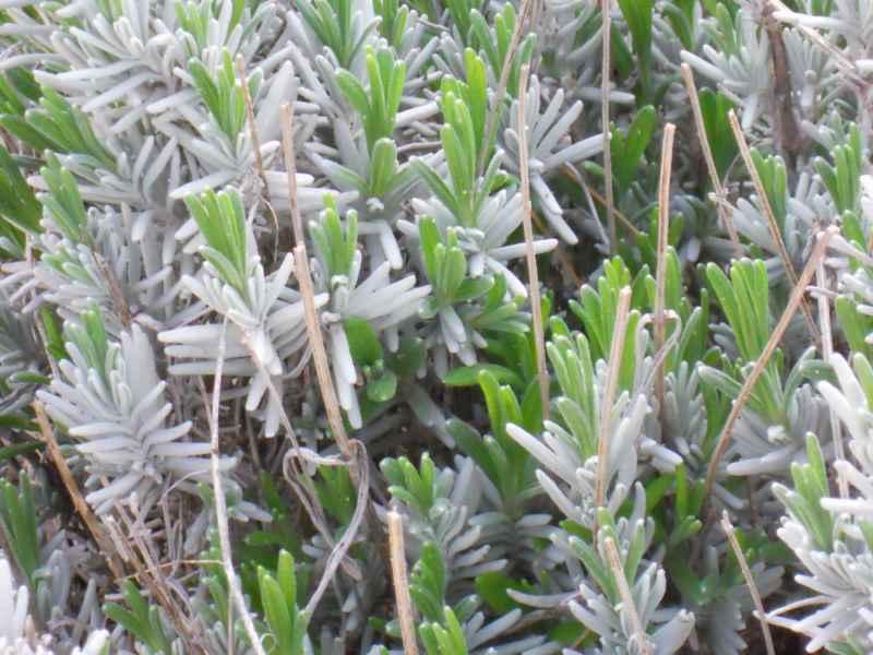 Rosmarinus officinalis hoja 3