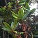 Myrsine wawraea