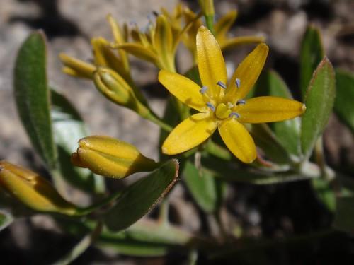 Sierra Triteleia