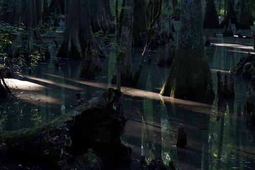 sunlight moss florida swamp cypress panhandle gulfcoast ef70200mmf28lisiiusm