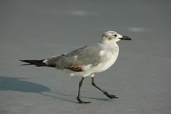 Sea Gull-0680