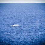 Humpack Whale off Yena Gap (3)