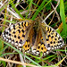 Small photo of Dark Green Fritillary. Argynnis aglaja