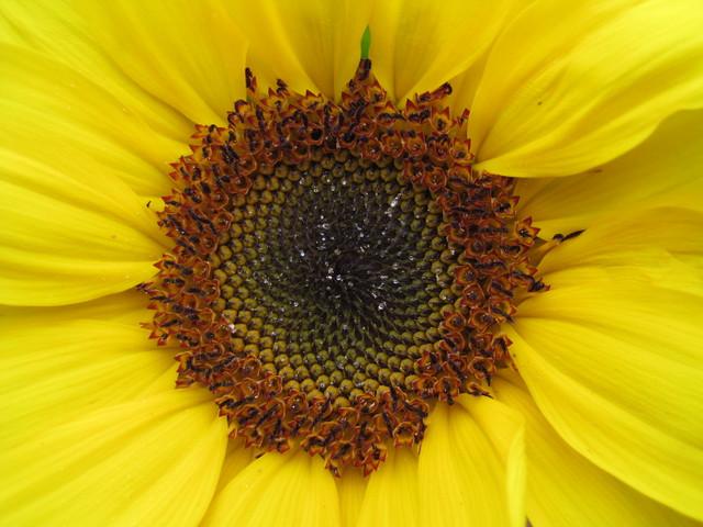 sunflower and fibonacci pattern flickr photo sharing