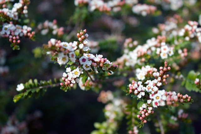 Header of Thryptomene Calycina