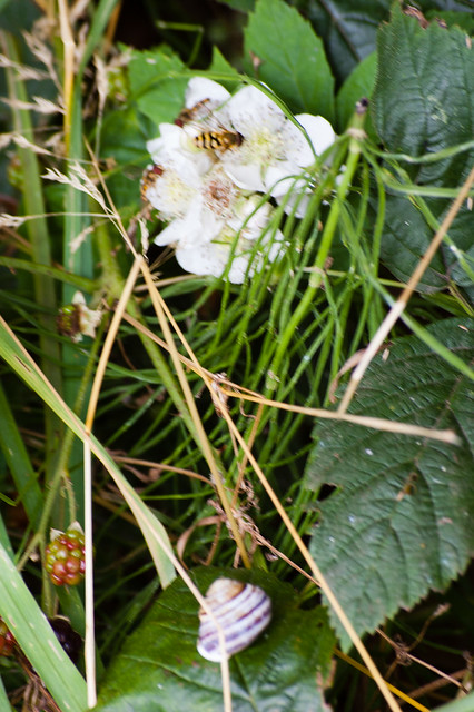 Hoverflies feeding and snail