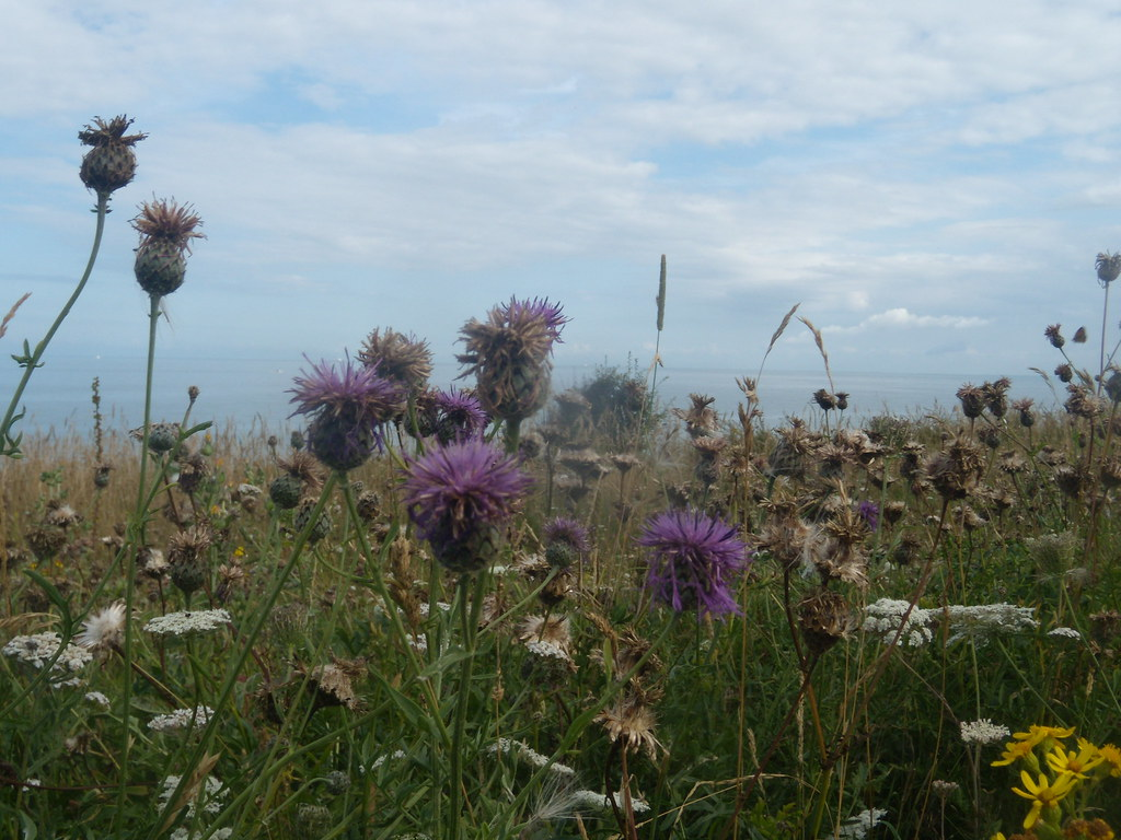 Knapweed and other stuff Ramsgate to Margate