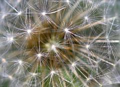 dandelion stars