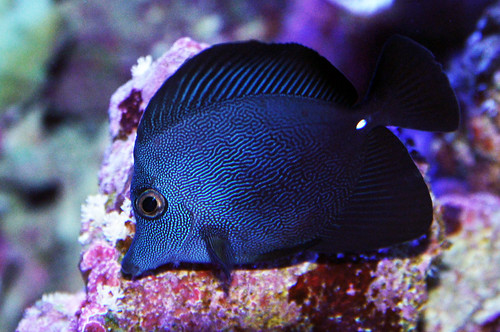 Black tang or scopas id please page 3 reef for Blue tang fish price
