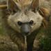 Aardwolf (Proteles Cristata), Hamerton Zoo