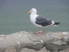 Monterey Sea Gull