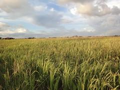 Harvest time in Kedah