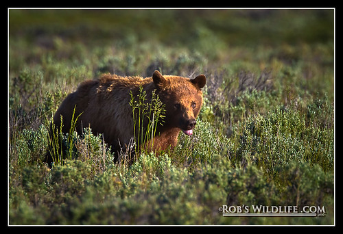 Yellostone Grizzly Bear-5869-W