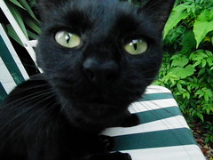 animal, small to medium-sized cats, pet, mammal, black cat, bombay, cat, whiskers, domestic short-haired cat,
