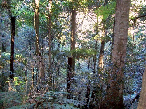 Mount Wilson Rainforest - (Cyathea australis)