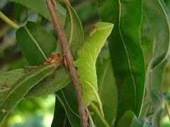 Smerinthus ocellata (Larva) - Photo of Sainte-Bazeille