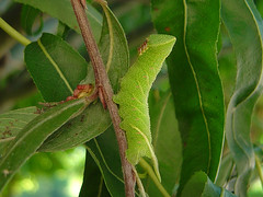 Smerinthus ocellata (Larva)