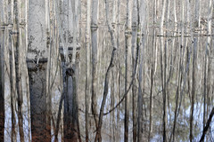wetland, swamp, birch, woodland, branch, winter, wood, tree, nature, forest, trunk, natural environment, reflection, twig,