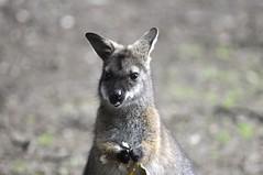 musk deer(0.0), wallaby(1.0), animal(1.0), marsupial(1.0), mammal(1.0), kangaroo(1.0), fauna(1.0), wildlife(1.0),