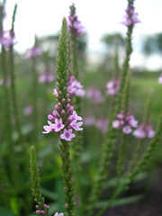 Verbena hastata 'Rosea', close-up