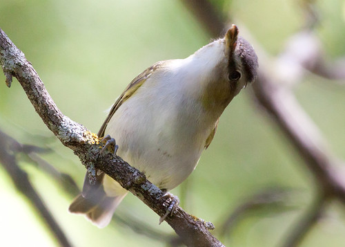 Red-eyed Vireo at my window