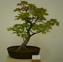 sageretia theezans(0.0), produce(0.0), tree(1.0), plant(1.0), houseplant(1.0), bonsai(1.0),