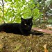 chat allongé - black cat lying down