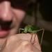 Katydid by cuttlefishlove