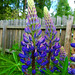 Garden Lupin - Photo (c) Per Ola Wiberg, some rights reserved (CC BY)