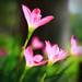 A little pink by Akari nghèo mạt rệp