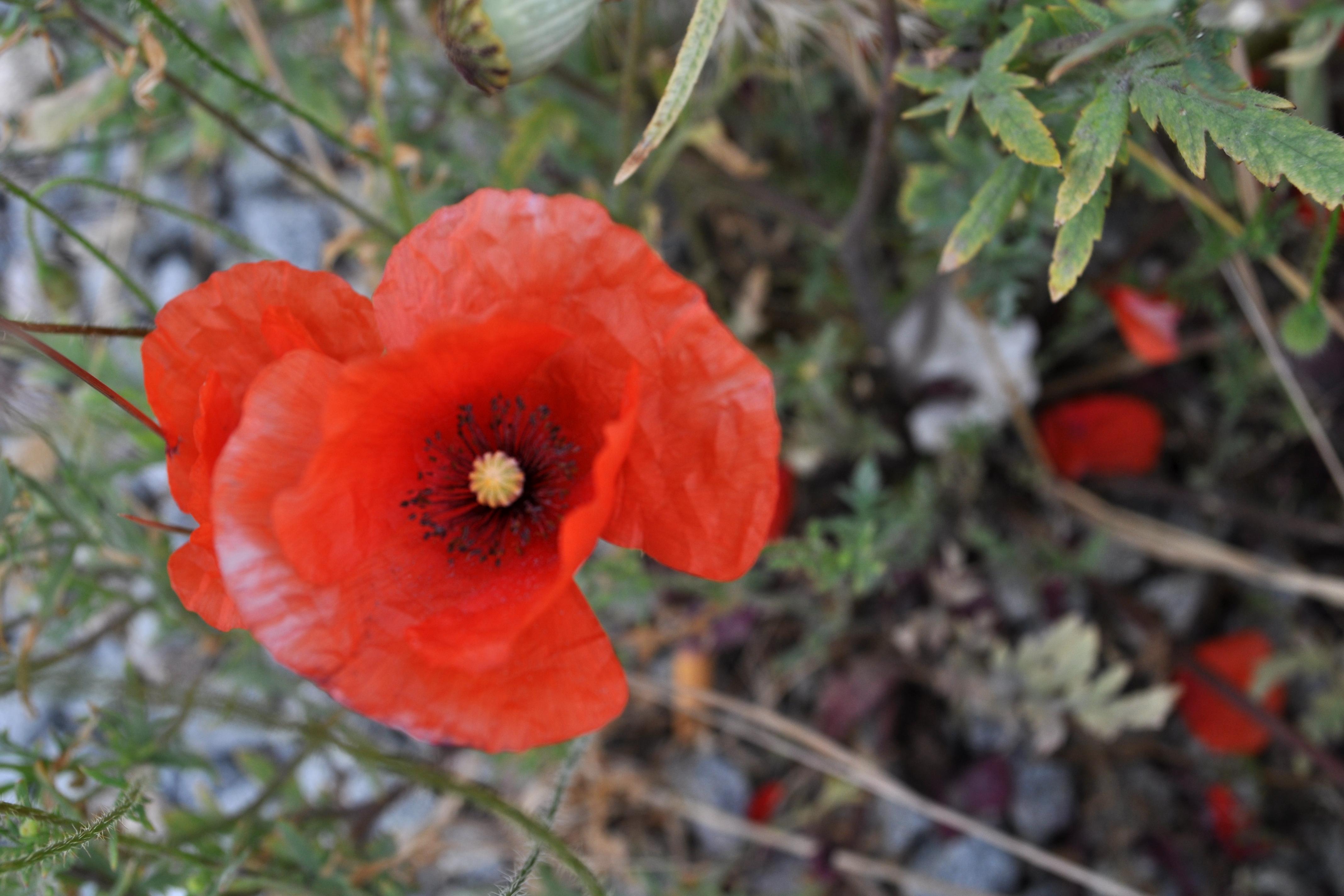 Spanish Poppyseed Flower